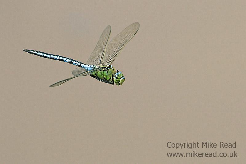 Blue emperor Anax imperator male in flight