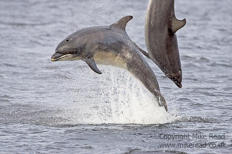 Bottle-nosed dolphin Tursiops truncatus Moray Firth Scotland