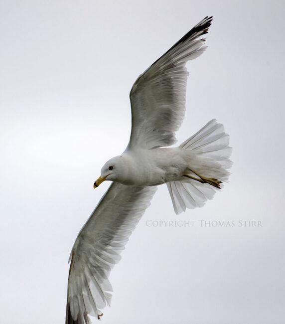 Bird in Flight #4