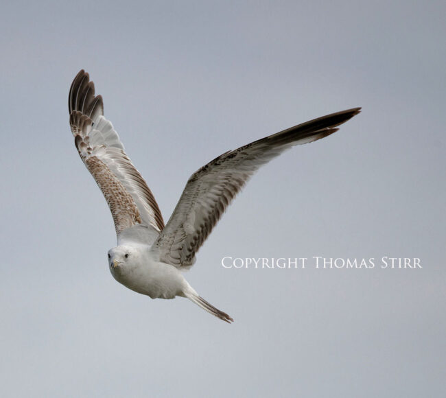 Bird in Flight #1