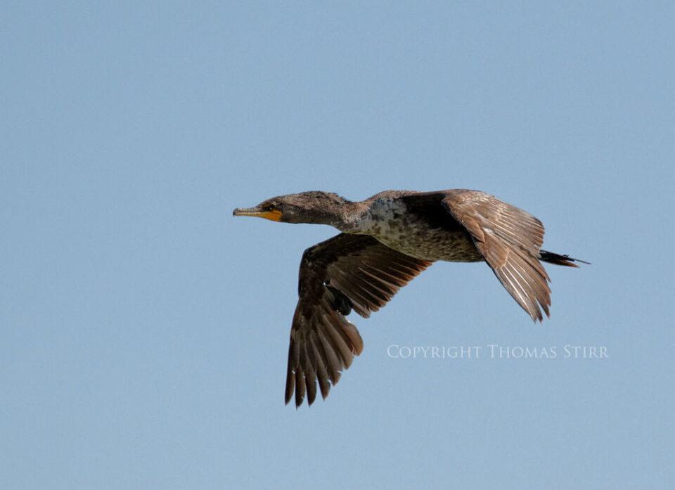 Bird in Flight #3