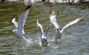 Fish Fight #2