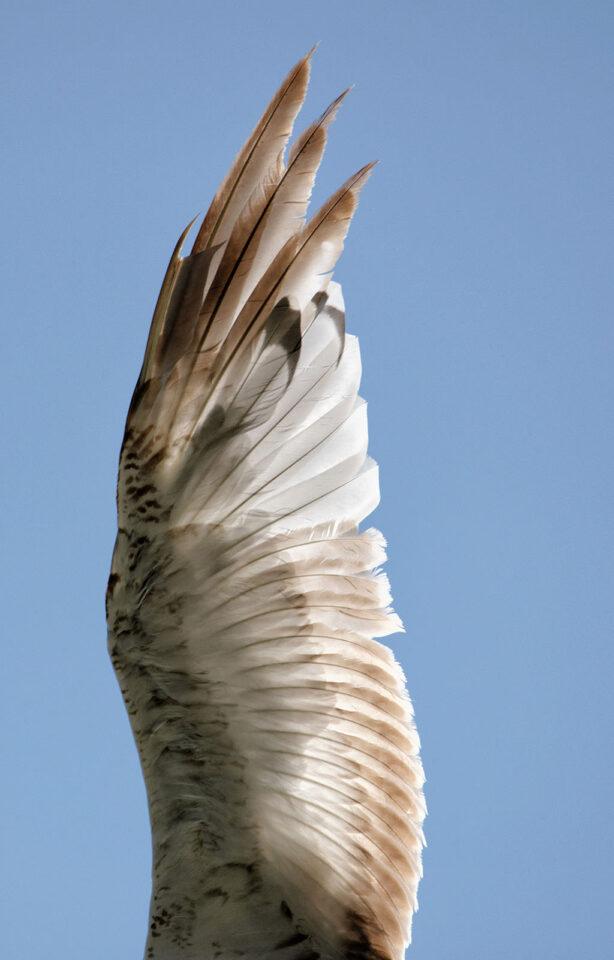Wing Crop