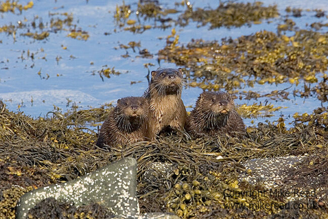 Otter Lutra lutra female and two large young Loch na Keal Mull Scotland