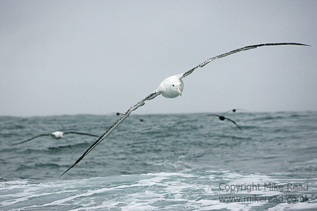 Wandering albatross Diomedia exulans in flight over sea Kaikoura New Zealand