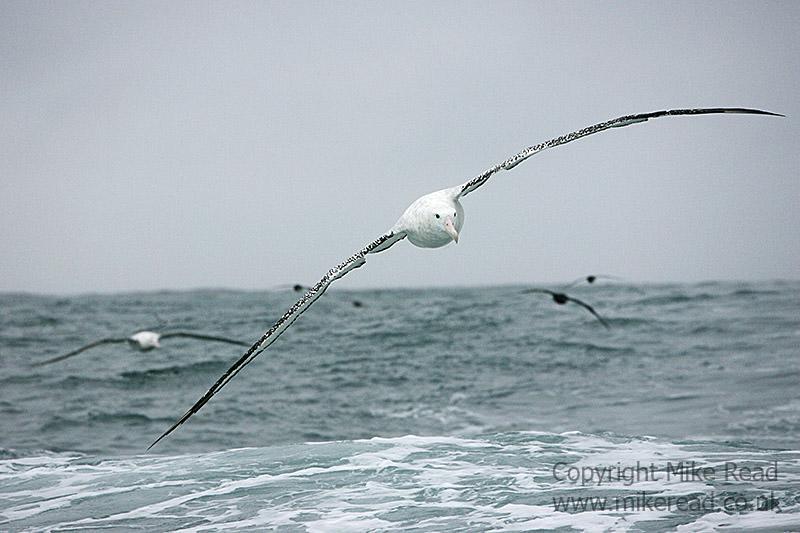 Wandering albatross Diomedia exulans in flight over sea Kaikoura New Zealand