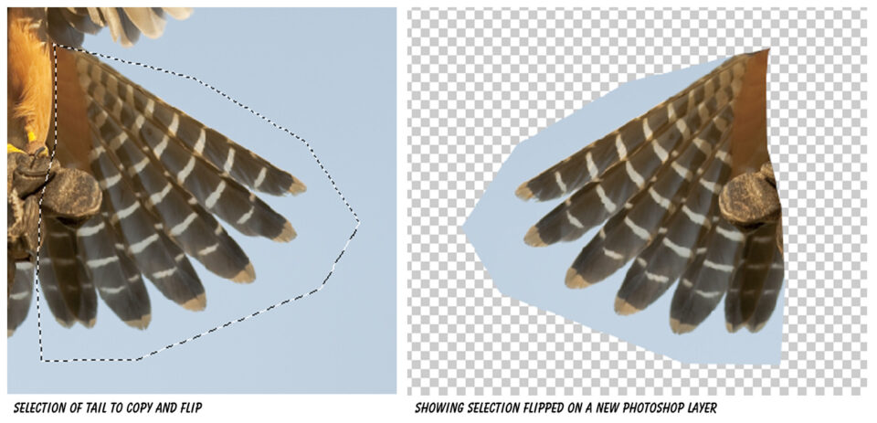 Aplomado Falcon Tutorial Steps 02