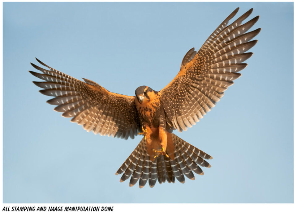 Aplomado Falcon Tutorial Steps 05