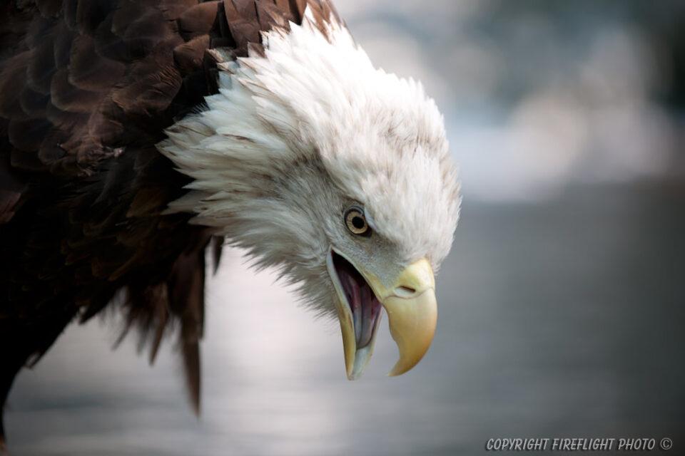 DSC6693 Screaming Bald Eagle