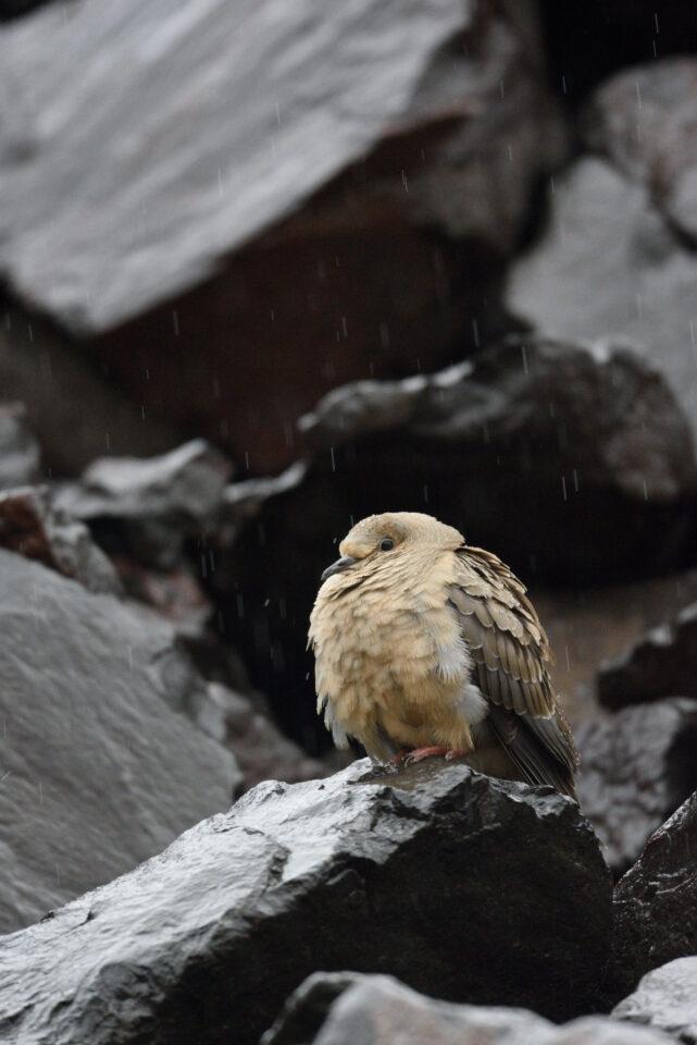 Verm-Mourning-Dove-San-Juans-1387