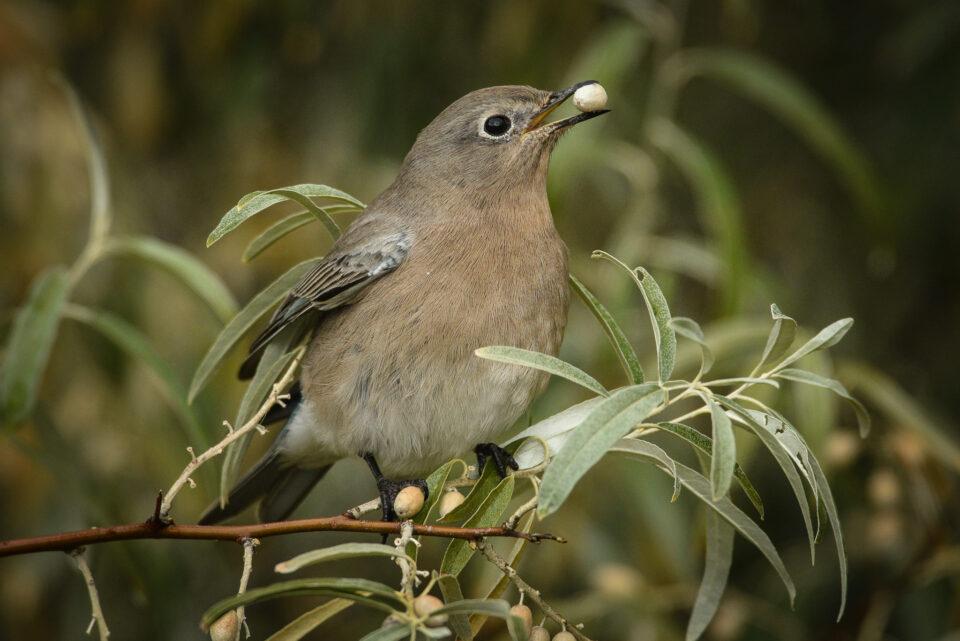 Verm-Mtn-Bluebird-San-Juans-3218