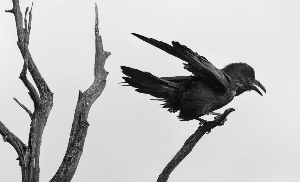 Verm-Raven-San-Juans-2342