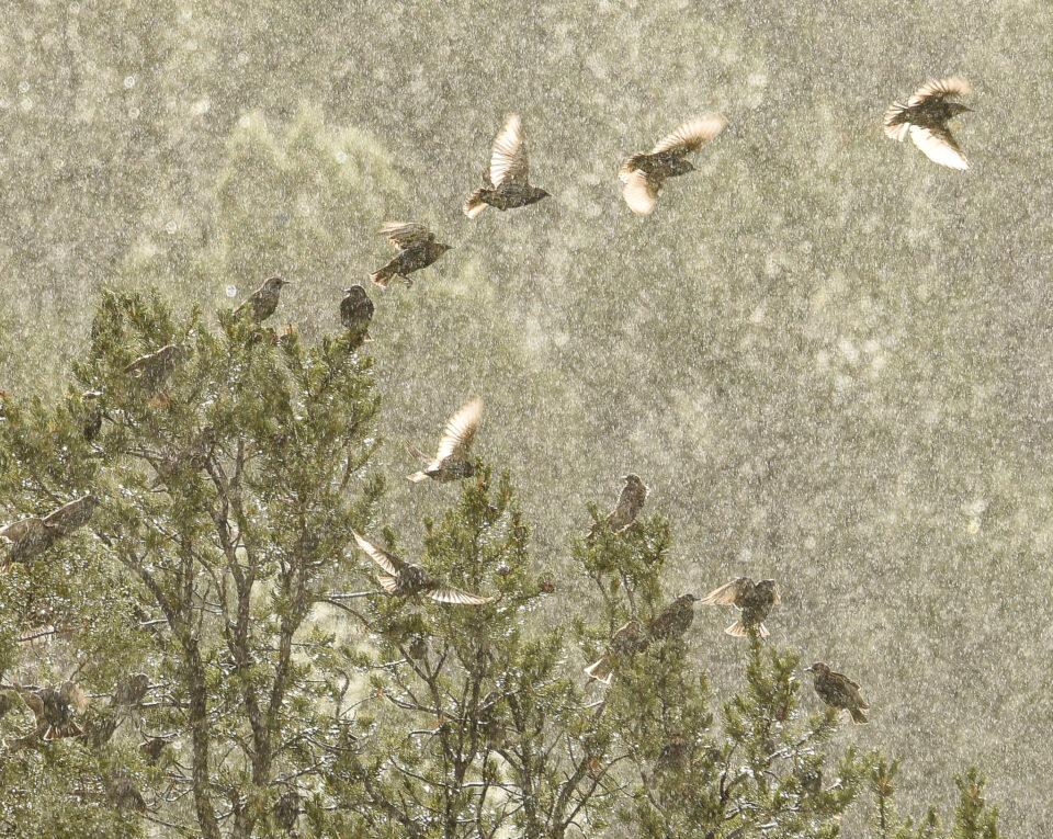 Verm-flock-in-rain-San-Juans-3448