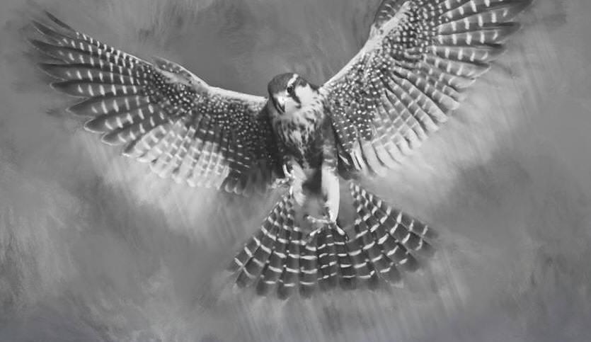 Aplomado Falcon Tutorial