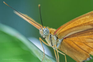 Photographing Butterflies With the 1 Nikon CX 70-300