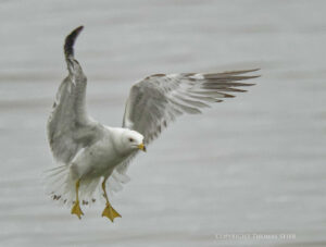 Cropping Images of Birds-in-flight with the Rule of Thirds