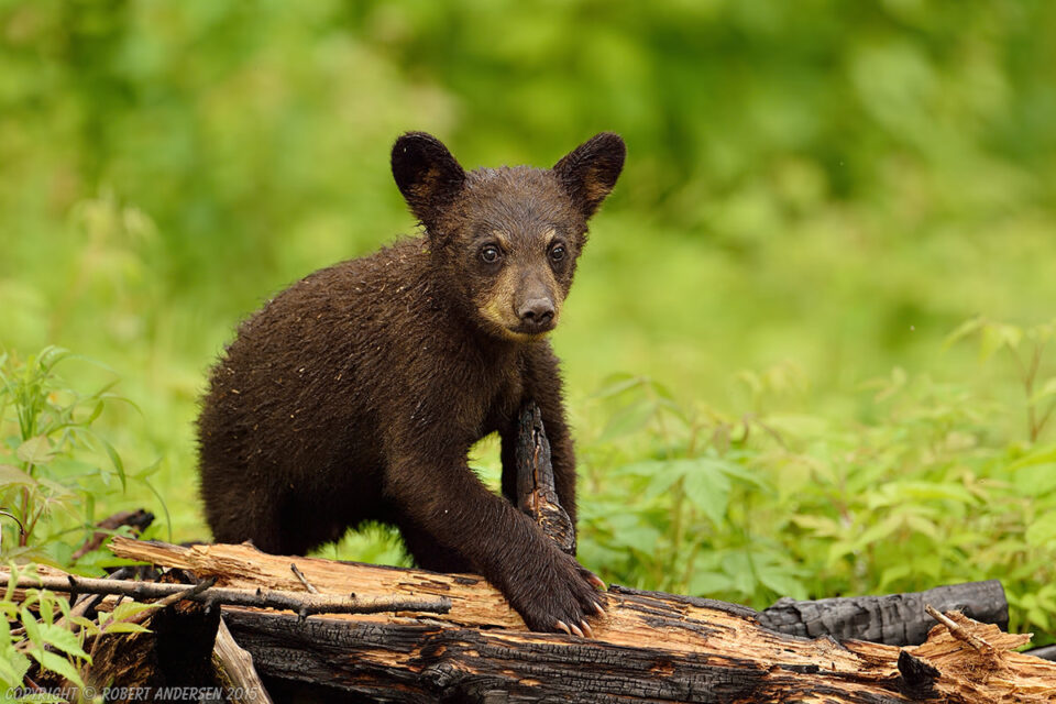 Two Young Black Bear on Burnt Wood