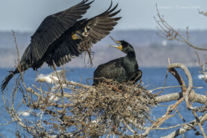 Return of the Cormorants