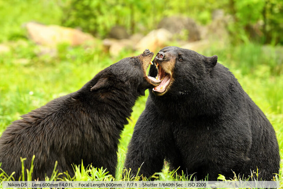Huge Male Black Bear and Sow Mating