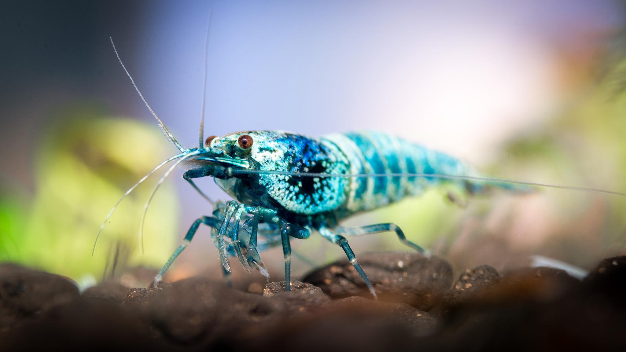 One Line Macro Art : Aquarium macro photography of ornamental shrimp