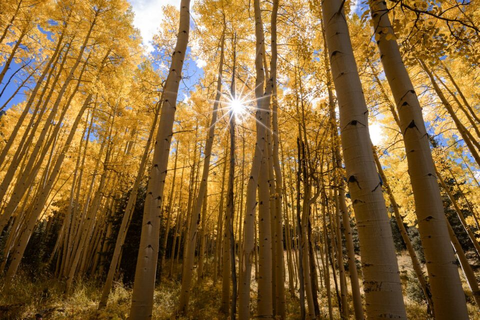 Aspen trees with bright light and cheerful emotions