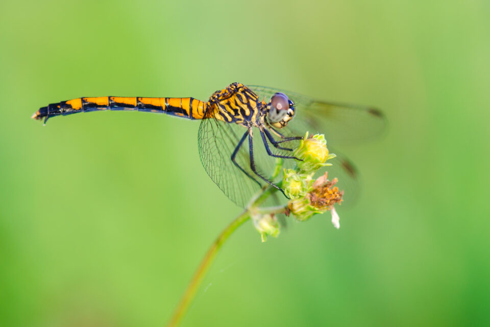 Focusing dragonfly macro photography