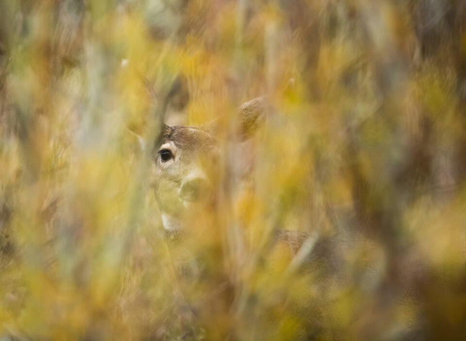 Mule Deer through Fall Foliage, Yellowstone National Park