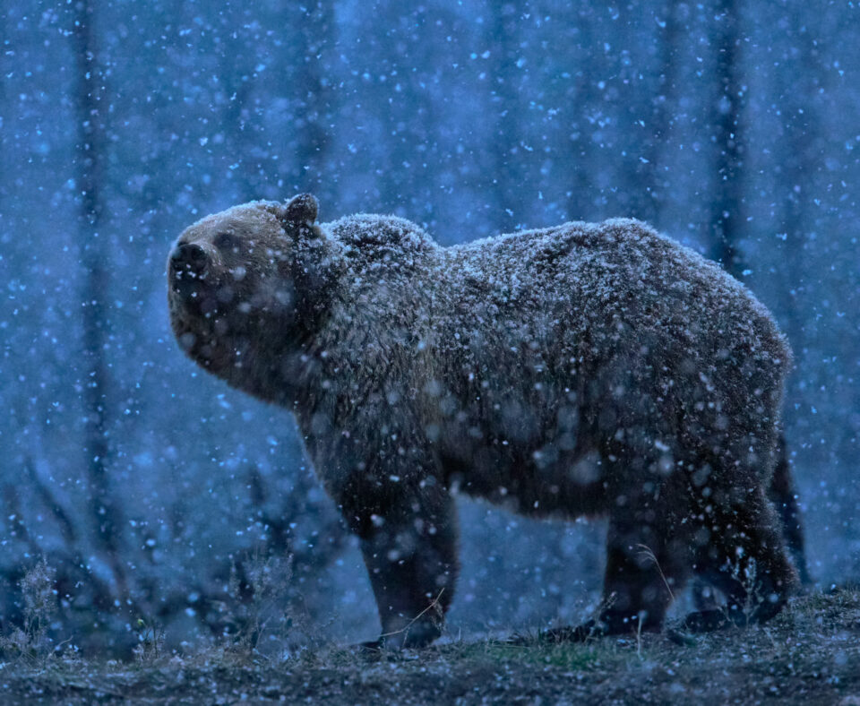 Bear in Snow, Yellowstone National Park