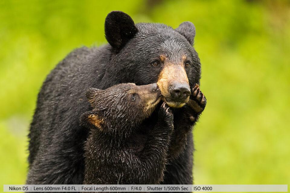 Female Black Bear and Tiny Cub Kissing Closeup