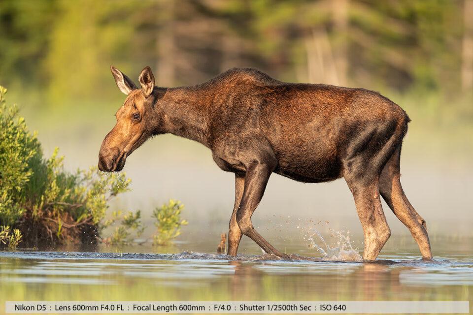 Calf Moose Feeding in Pond Fog on Water North Maine