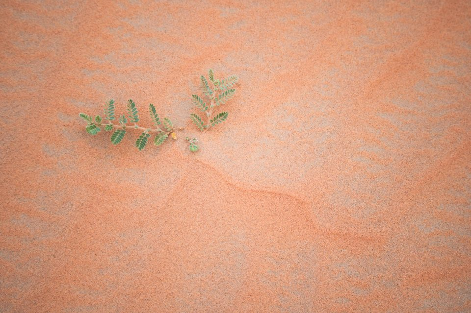 Plant in the Sand at Liwa Desert