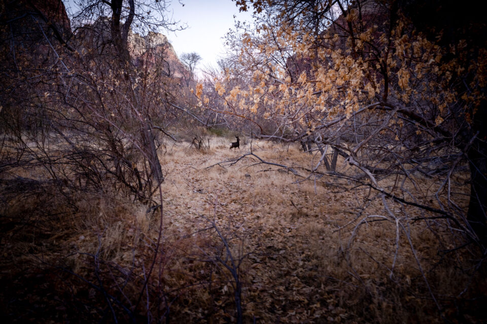 Deer Walking in Zion National Park