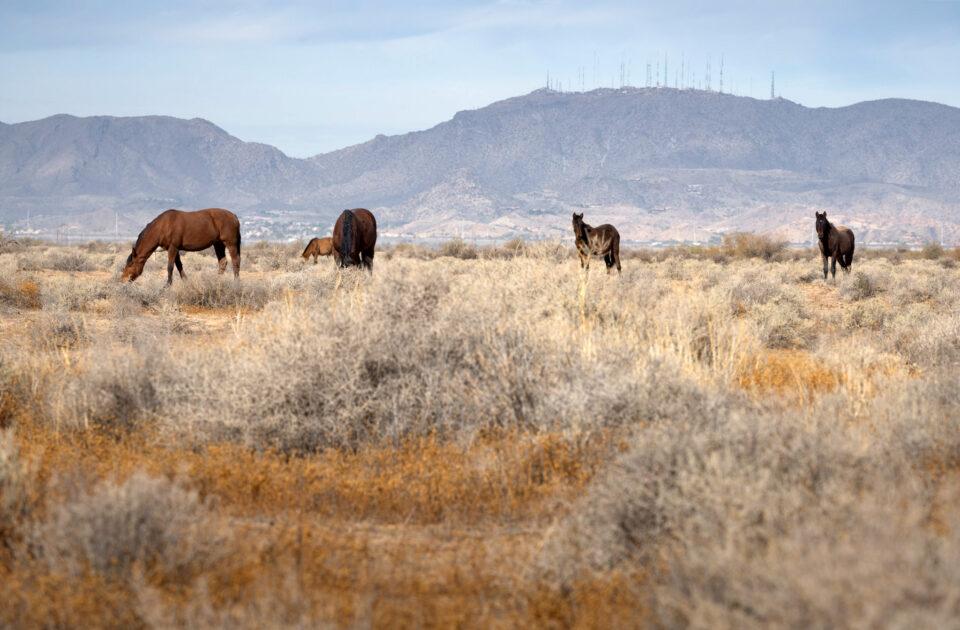 Horses of Phoenix