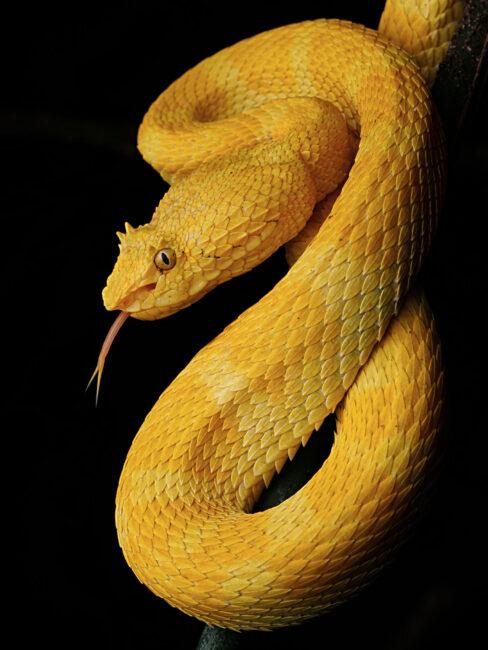 eyelash viper is very beautiful snakes are misunderstood