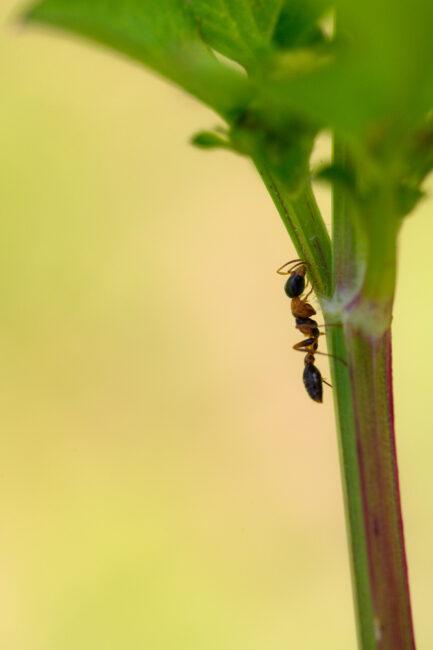 Ant Walking on Stem of Grass Macro Photo