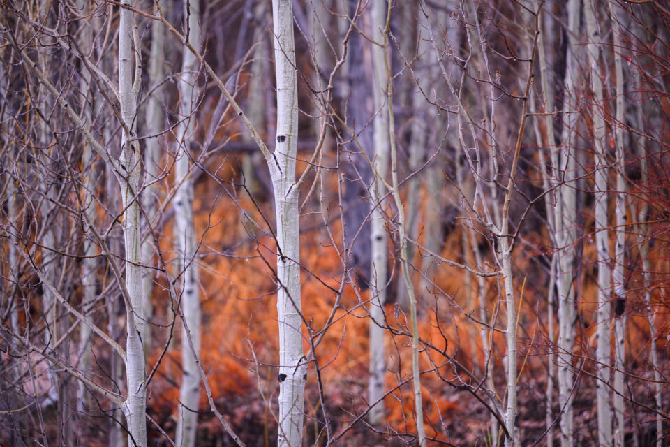 Sample Photo of Aspen Trees with Nikon 70-200mm f4G with FTZ adapter on Nikon Z7