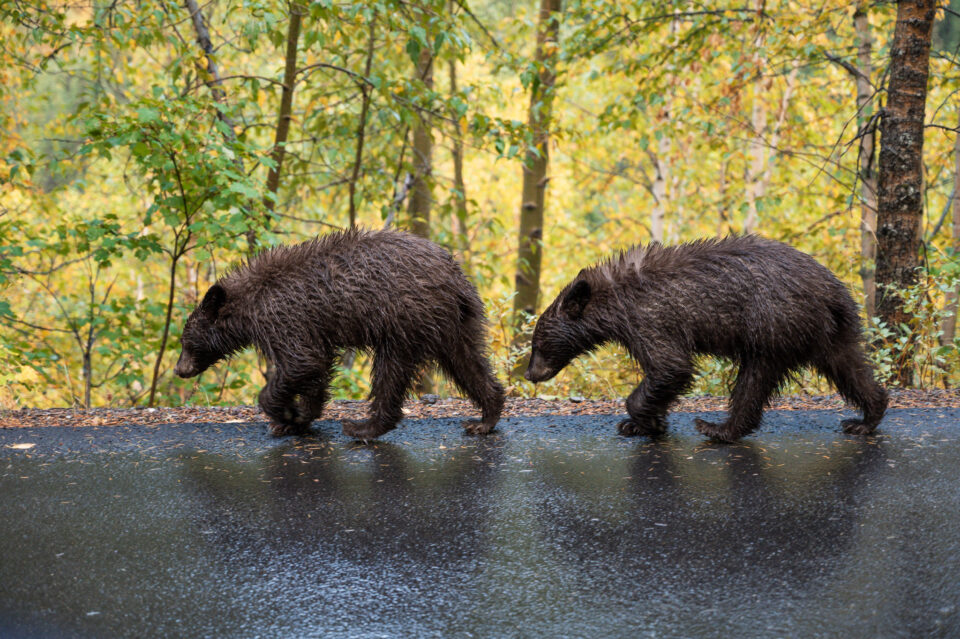 Nikon Z6 with 24-70mm f4 S Sample Photo of Bear Cubs