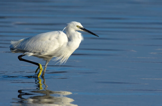 The Four Seasons of the Little Egret